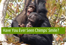 Have you ever seen chimps' smiles?